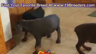 Doberman Pinscher, Puppies, For, Sale, In, Lexington, County, Kentucky, Ky, Bowling Green, Owensboro