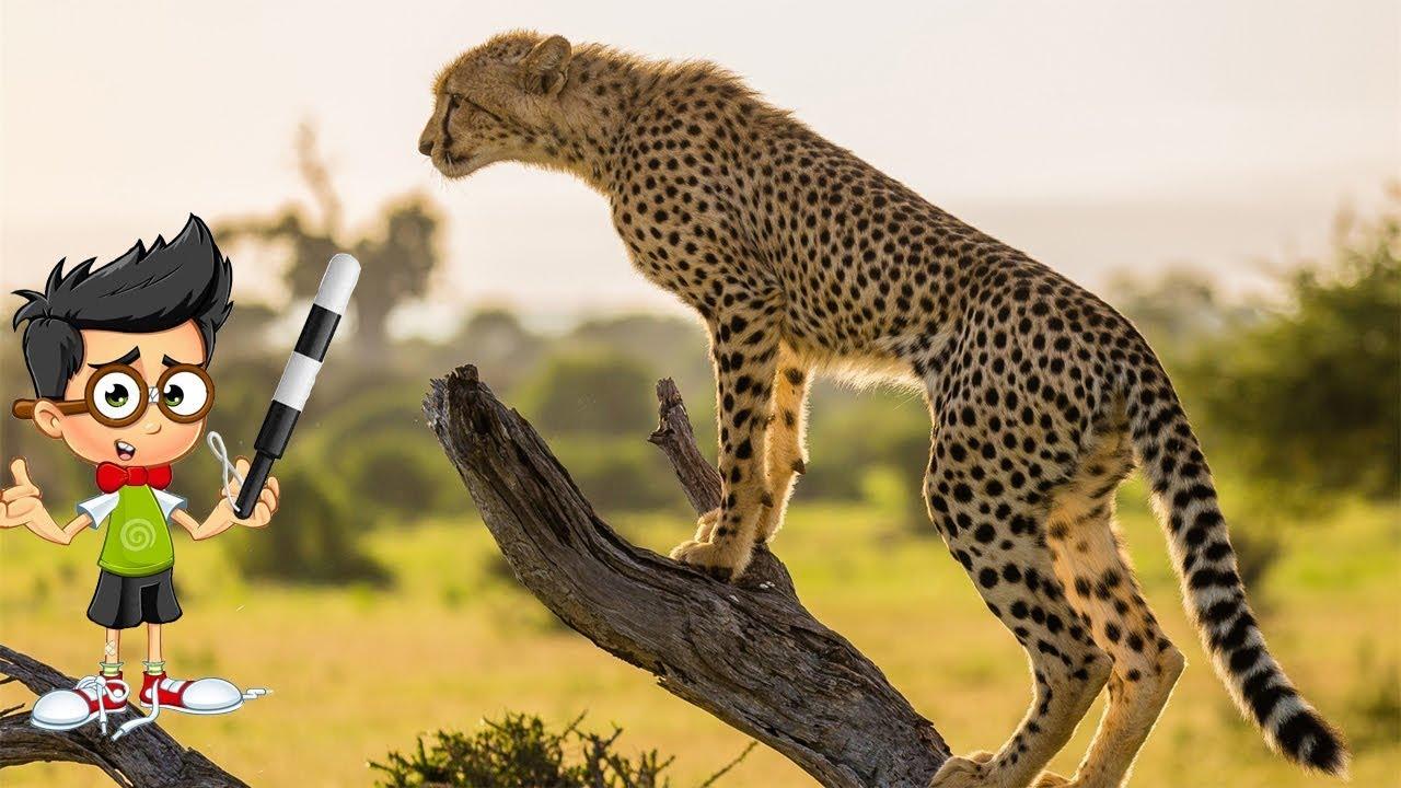 Самое быстрое животное в мире. Скорость животного гепард ...  Самое Маленькое Животное в Мире