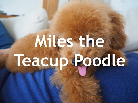 Teacup poodles for sale in Alabama from YouTube · Duration:  56 seconds