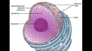 Биология. Часть 7. Клеточное ядро