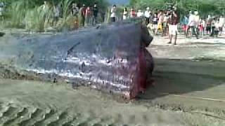Sperm Whale in Occidental Mindoro 19
