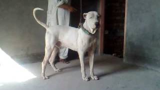 23 Months Old Bully Kutta Male