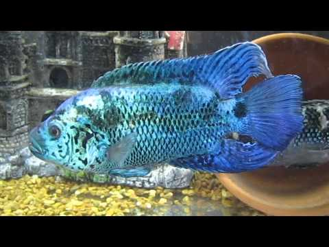 ELECTRIC BLUE JACK DEMPSEY CICHLIDS (sea of blue)   Doovi