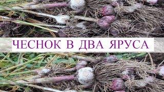 Чеснок в Два Яруса - Большой Урожай с Маленькой Грядки. Результат Эксперимента.