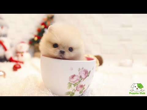 dog that fits in a cup