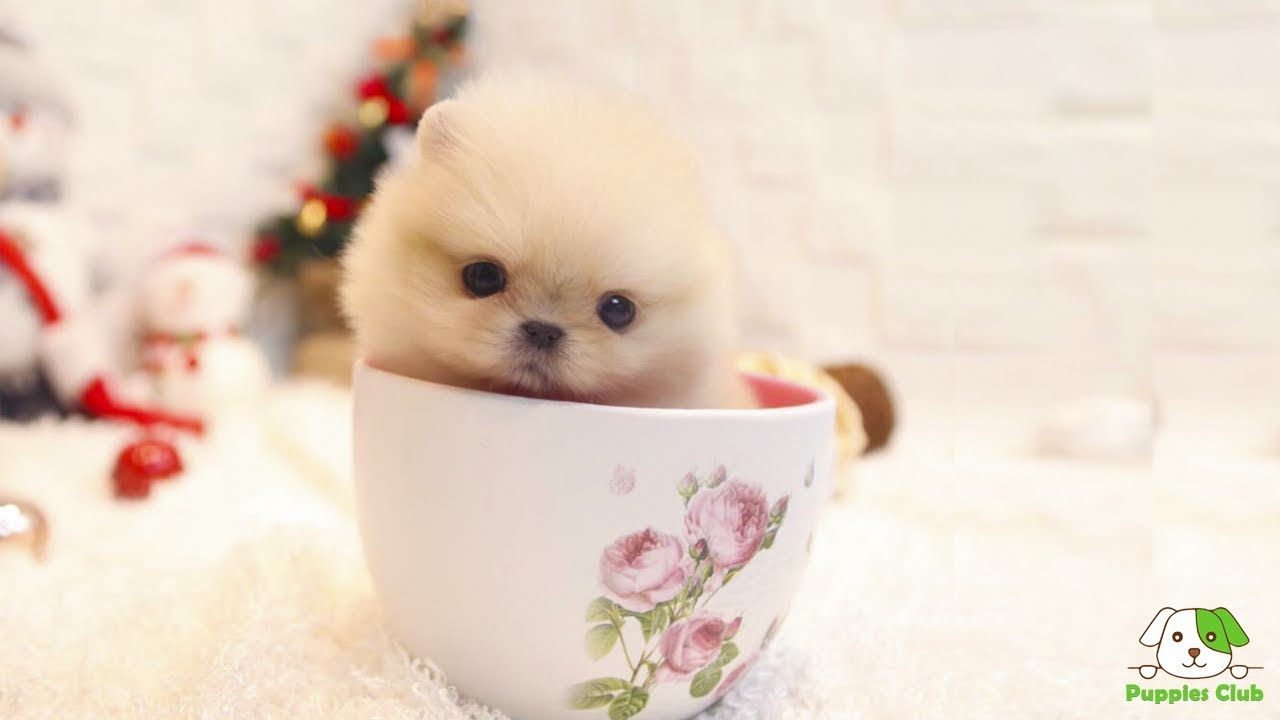 04cbd810f48 Cutest Teacup Pomeranian Puppies and Dogs - YouTube