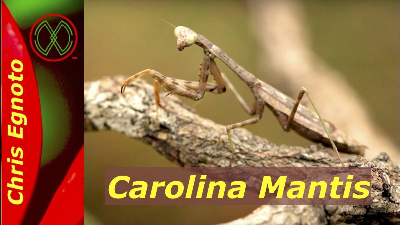 Praying Mantis Laying Eggs Stagmomantis Carolina Youtube