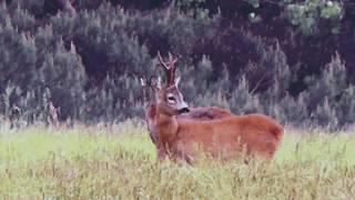 polowanie na kozła/ rogacza-Gorlice / Rehbock  jagd in Polen-Gorlice/ roehbuck hunting ,Poland