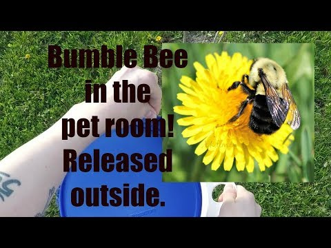 Bumble Bee Release! Huge Cage Clean: 8 Guinea Pigs