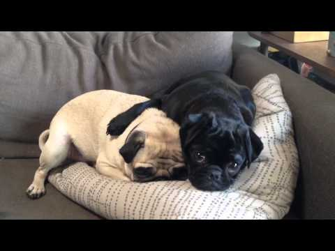 Two Sweet Pugs Napping