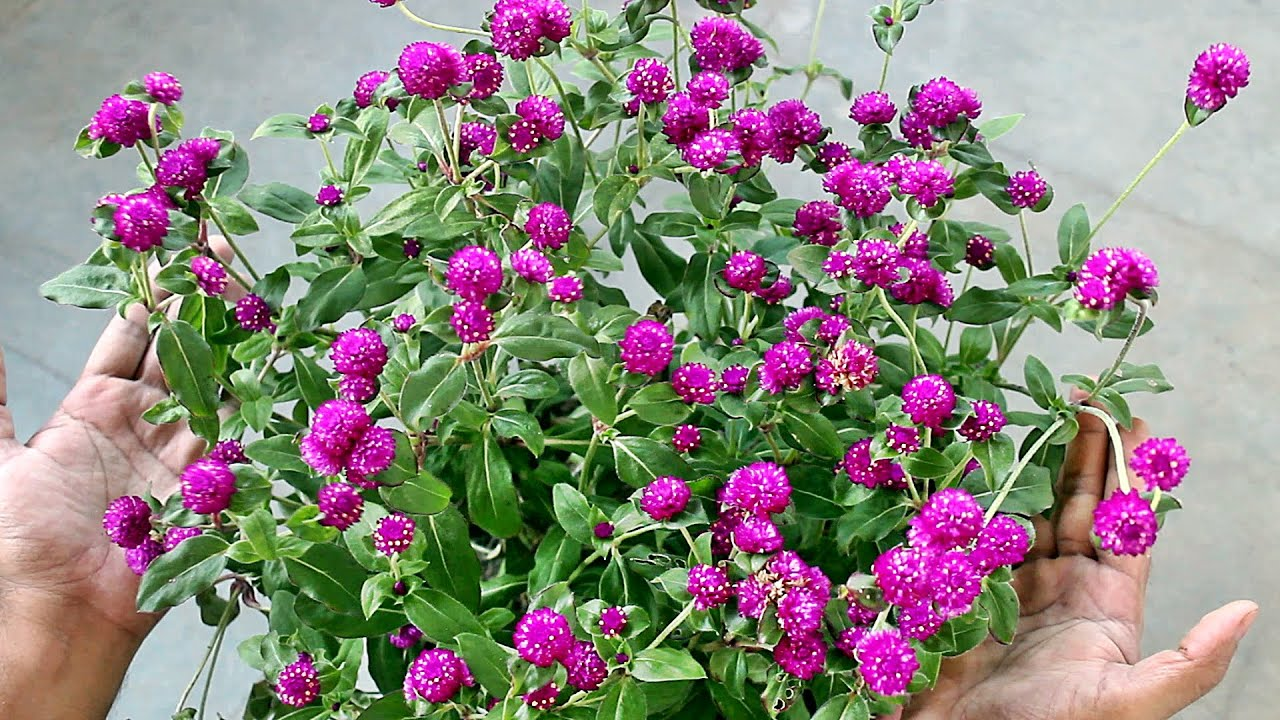Growing Gomphrena from SEED & TRICKS for MAXIMUM Flowers