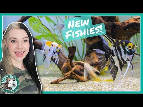 New Angelfish & Fish Updates!