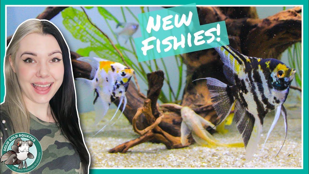 new-angelfish-fish-updates