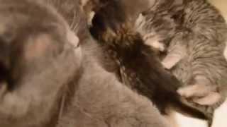 Британские котята, недавно родились.