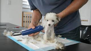 MythicKingdom how to do a first time trim on a super hairy hairless Chinese Crested puppy at 8 and a