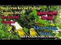 Kicau Kecial Kuning Juara Seped Pendek Super Kasap Melatih Mental Pembangkit Birahi Kecial Lain  Mp3 - Mp4 Download