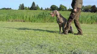 Windfall Grey Weimaraners - Some Training With Loeka 03-06-2013