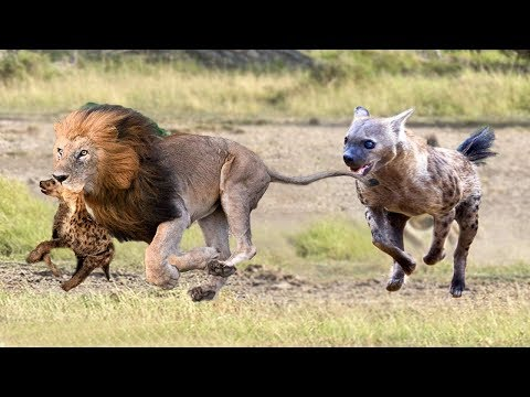 Hyenas baby was born in Lion's territory!Lions attack Hyena cubs in front of Hyenas parent