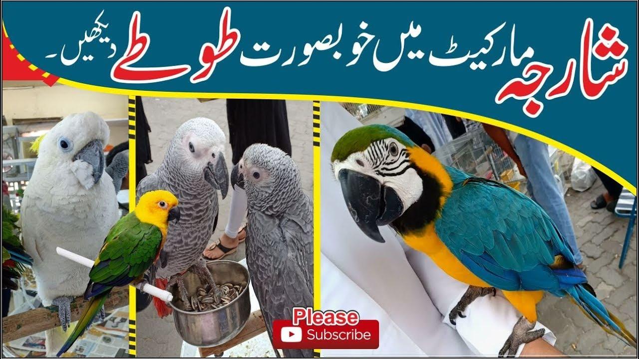 Sharjah Birds Market | love Birds Dubai Charlie, Angel, Pikachu, Coco