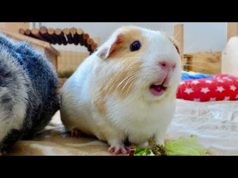 Guinea Pig Floor Time Vlog: Squeaking and Popcorning Guinea Pigs