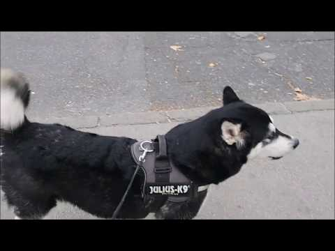 Alaskan Malamute notifying traffic with howling regarding ambulance