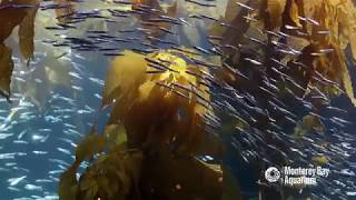 Anchovies in the Kelp Forest Exhibit