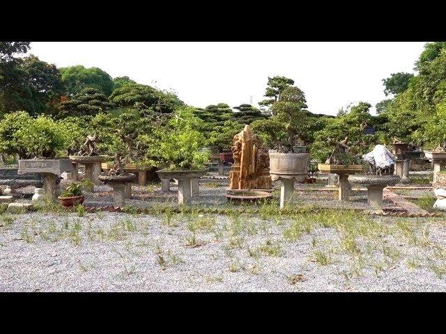 Vườn cây cảnh lớn chưa từng có và những cây tiền tỷ cũng không bê được - The largest bonsai garden