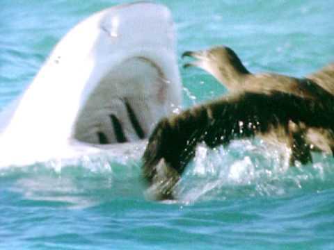 Tiger Shark Attacks Bird! - YouTube  Tiger Shark Att...