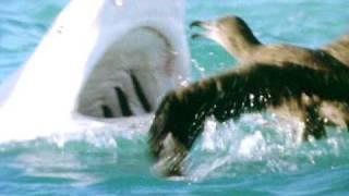 Tiger Shark Attacks Bird!