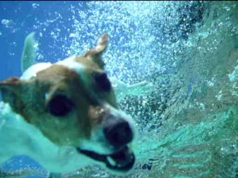 Jack russell terrier diving
