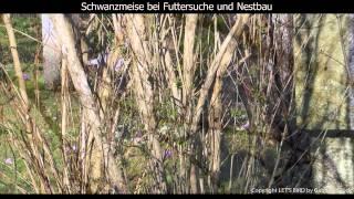 Schwanzmeise - Long-tailed tit - Aegithalos caudatus (1080p HD)