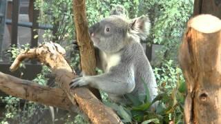 サンディエゴ動物園のコアラ Sandiego Zoo.
