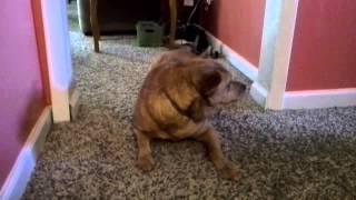 Sadie - Shar-pei Rescue Of Virginia