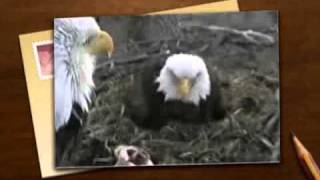 eagle cam decorah iowa bald eagle 3rd chick hatches goes poop live video