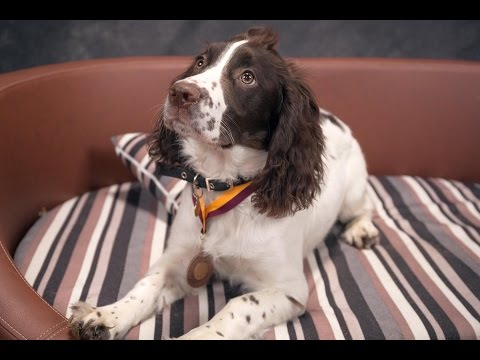 Lottie - Springer Spaniel Puppy - 2 Weeks Residential Dog Training