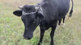 Приколы с животными Черный бык Быка замучили насекомые