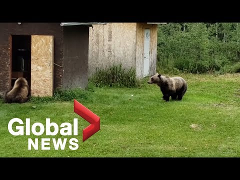 Alberta woman encounters three grizzly bears in her backyard