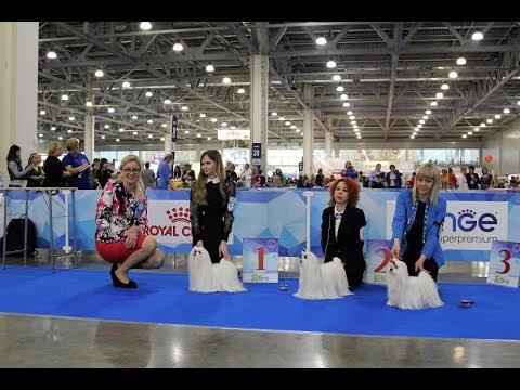 international-dog-show-eurasia-i-2018,-maltese