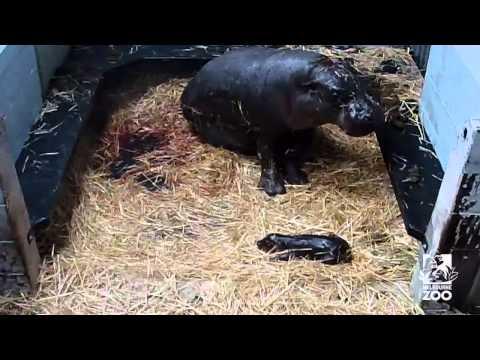 Pygmy hippo baby!