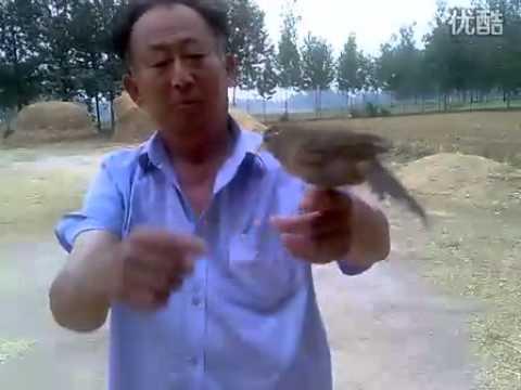 chim hoạ mi của người trung quốc