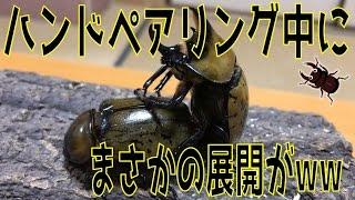 昆虫採集☆カブトムシ☆クワガタムシ ティティウスシロカブトをハンドペア...
