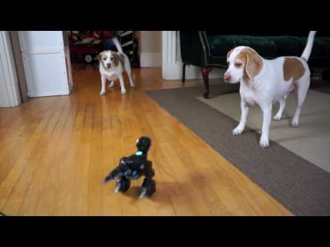 Dog Rescues Sister from Dinosaur Robot: Cute Dogs Maymo & Pe