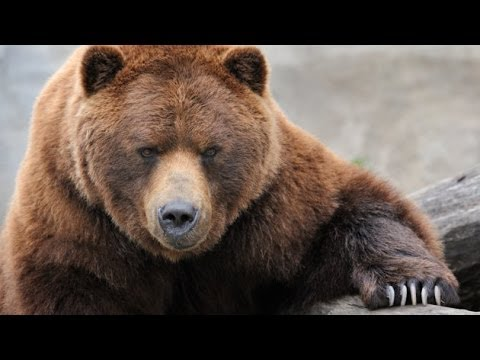 Grizzly River Grizzly Bears Nature Documentary Youtube