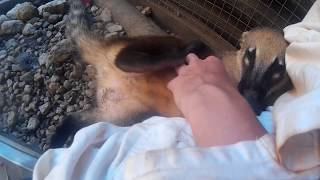 Adorable coati can't resist a tummy scratch