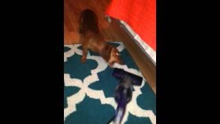 Dachshund Barking At Vacuum