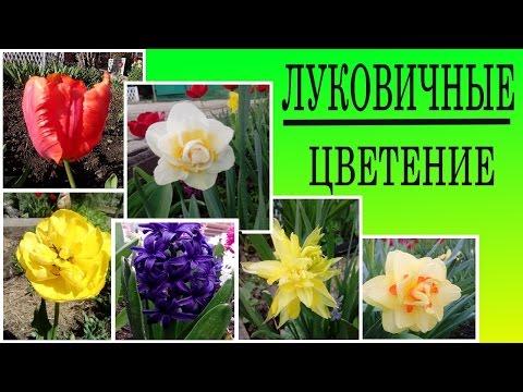 Луковичные цветы для сада, Моя коллекция луковичных цветов