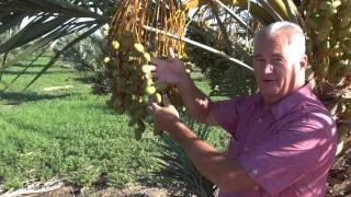 Farming Medjool Dates