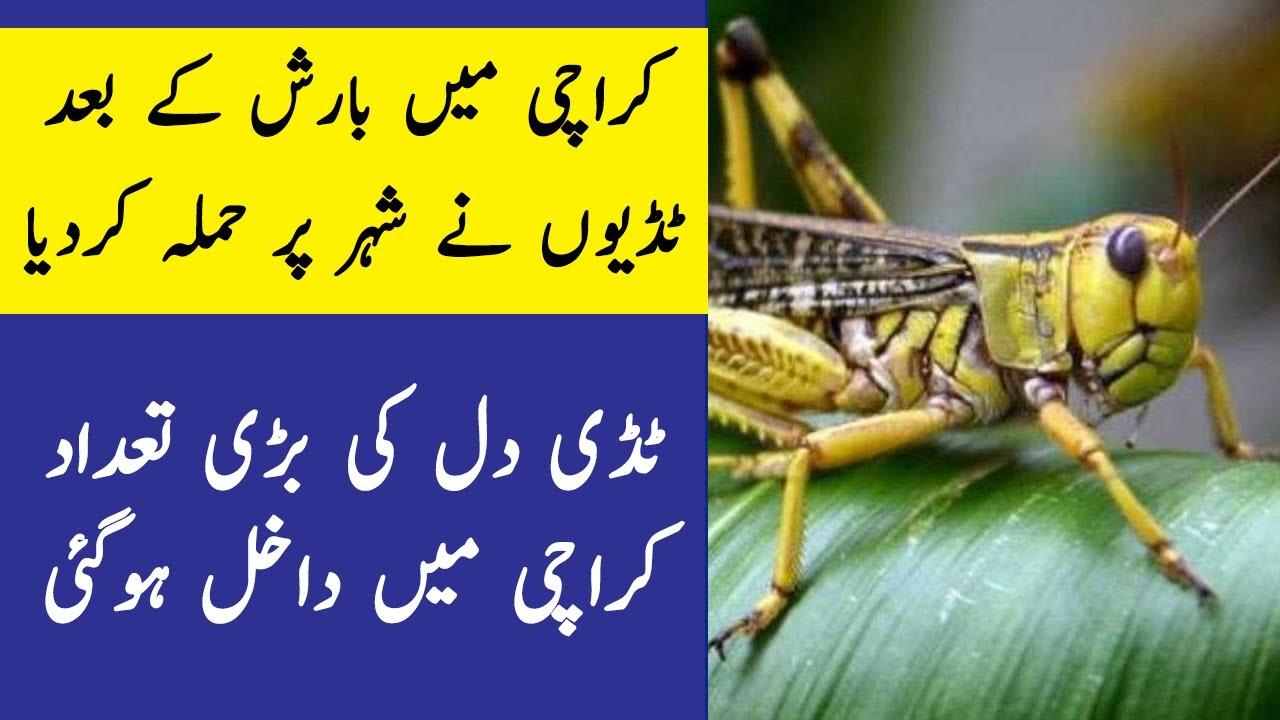 Tiddi dal attack in Karachi after monsoon 2020 first rain   Locust attack in Karachi during rain