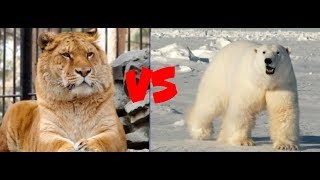 Лигр против белого медведя