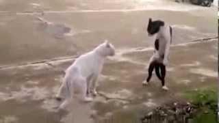 Зрелищные кошачьи бои
